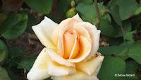 Over the Moon hybrid tea rose - Elizabeth Park, West Hartford, CT