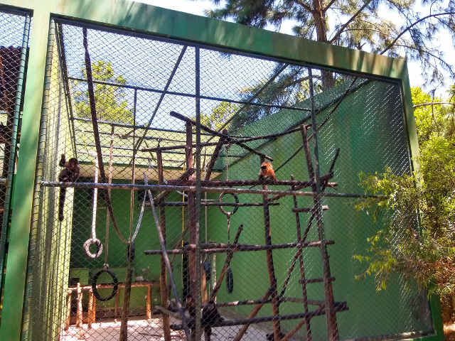 Monkeys victims of traffic that are being treated inside a green cage.