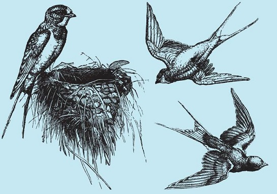 Makanan Awet Muda sarang burung walet