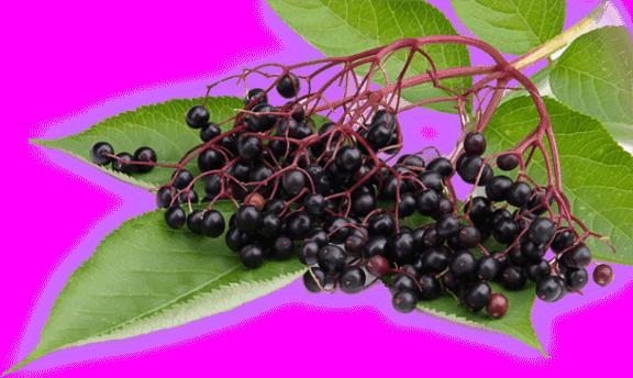 elderberry untuk kanser vivix