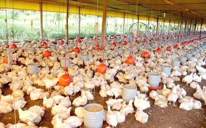 Produção de carne de frango no Brasil deve ter alta de 3% em 2022
