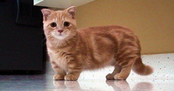 Kucing berkaki pendek