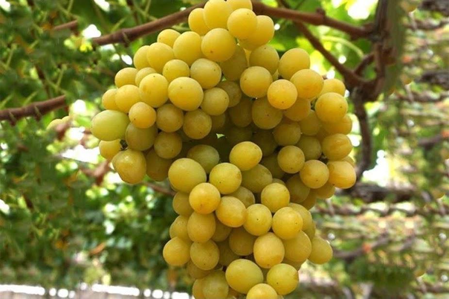 Bibit anggur impor transfiguran genjah Sumatra Utara