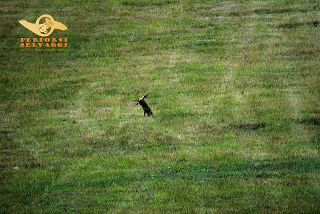volpe che caccia