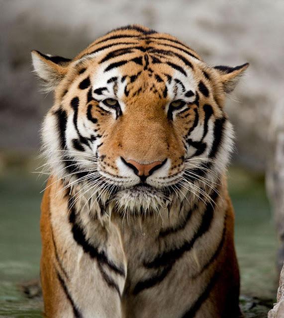 tiger bagh sher ka image download