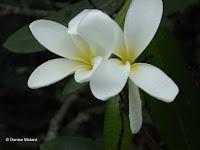 White fragrant Plumeria blooms - Ho'omaluhia Botanical Garden, Kaneohe, HI