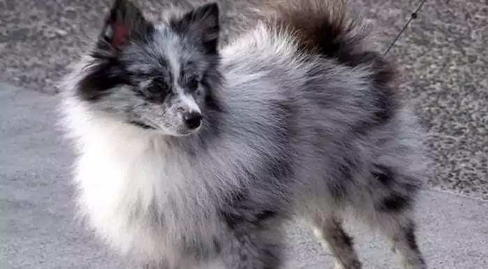 Aussiepom Dog Breed