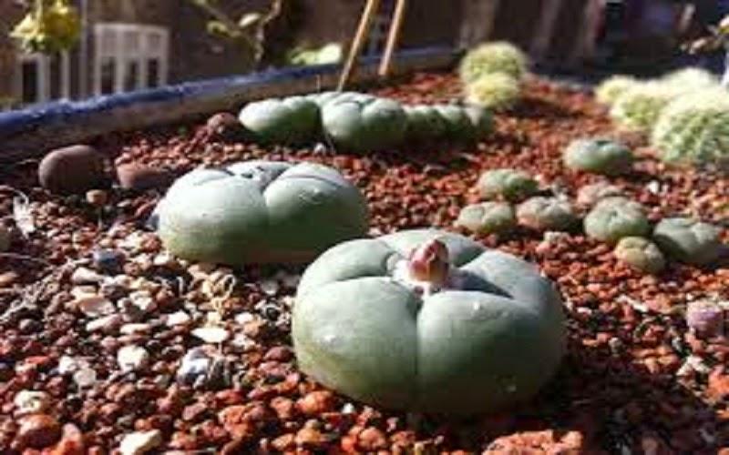 Lophophora williamsii, comúnmente llamada peyote, es una especie perteneciente a la familia Cactaceae. Es endémica de México. Se encuentra únicamente en las regiones desérticas de los estados de Chihuahua, Durango, Coahuila, Tamaulipas, Nuevo León, San Luis Potosí, y ocasionalmente en algunas áreas de Querétaro y Zacatecas.