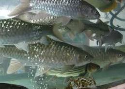 Ikan Hias Air Tawar Termahal Kelompok Ikan