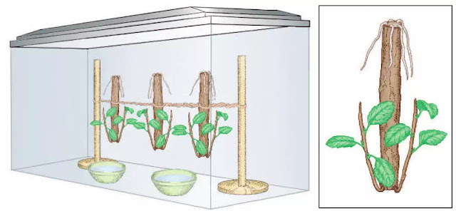 Figure 2 Cuttings (segments) of twigs that were suspended upside down in a humid, lighted glass tank. New roots plants are growing down from the top ends, and new shoots are growing up from the bottom plants.