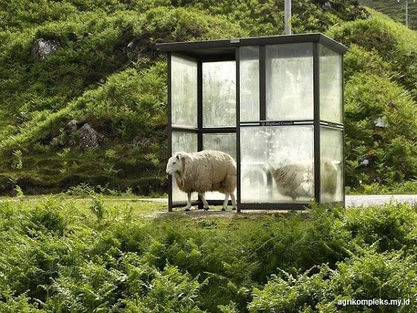 Konstruksi Kandang Yang Baik Untuk Ternak Domba