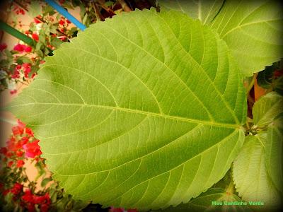 folhas do rabo-de-gato-vermelho