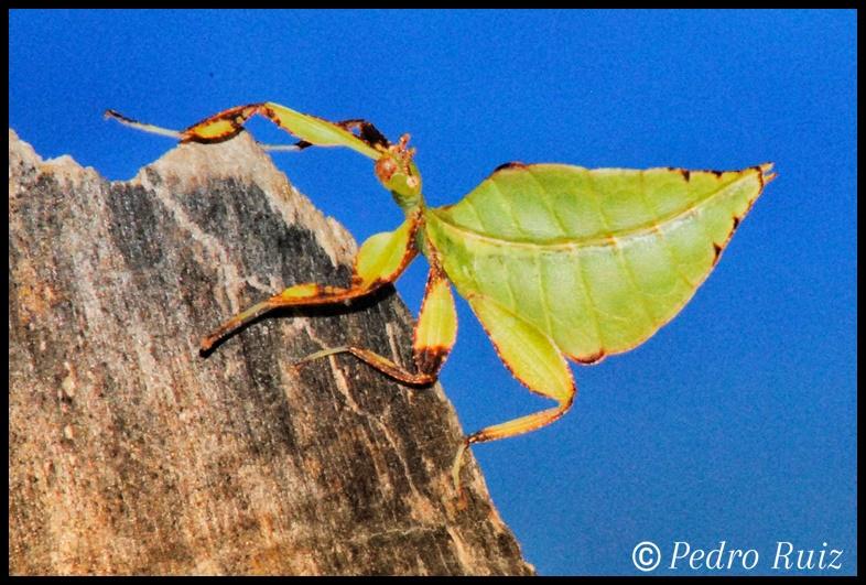 Ninfa macho L3 de Phyllium philippinicum, 2,4 cm de longitud