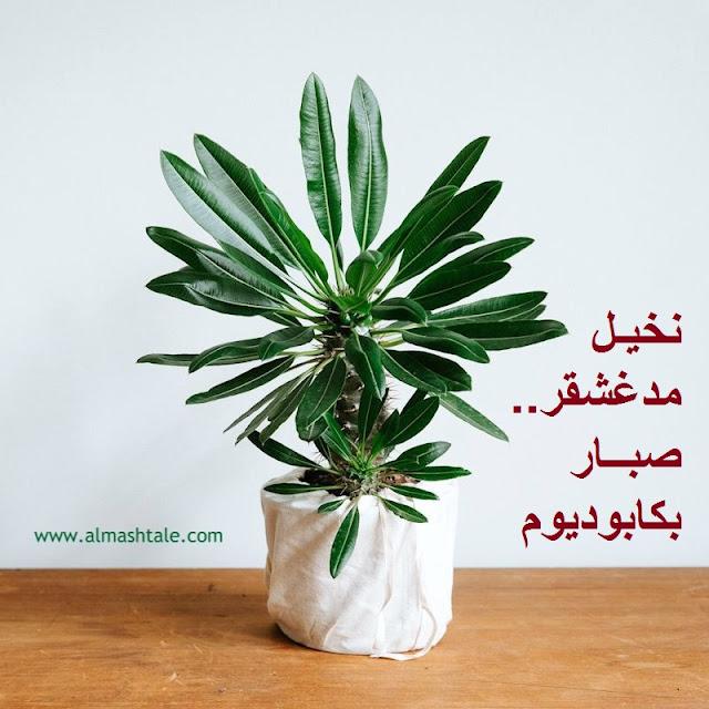 نخيل مدغشقر أو صبار بكابوديوم pachypodium