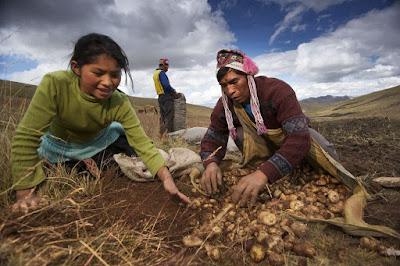 Thu hoạch maca- sâm Peru