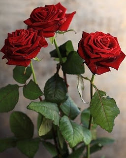 red rose ful image