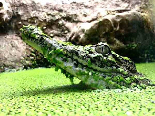 Crocodile surfaces in green river slime weeds