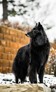 Groenendael dog-pets-dogs-dogs breeds
