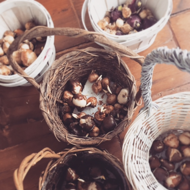 Planting Fall Bulbs for May Day Baskets at A Nest for All Seasons with Amy Renea