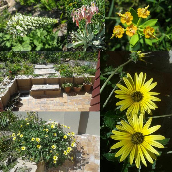 Pregnant onion, Cotyledon, Euphorbia volunteer yellow daisy renostergousblom
