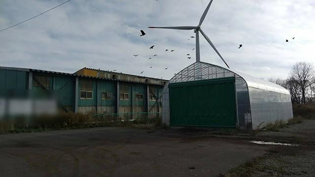 オジロワシ  風車、風力発電 バードストライク