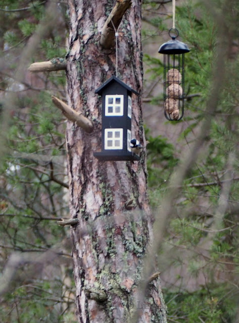 lingonberryhouse, 100 lintulajia, linnut, bird, birdlife, species