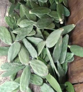 kaktus-centong-segar.jpg