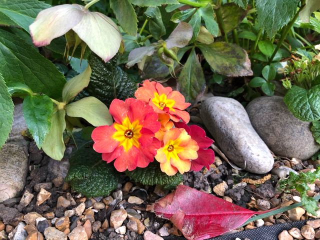 Sunset peach polyanthus flowering next to a gravel path