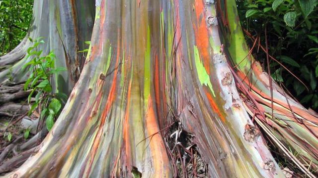 Uji di Lab, Minyak Eukaliptus Bunuh 80 Persen Virus Corona
