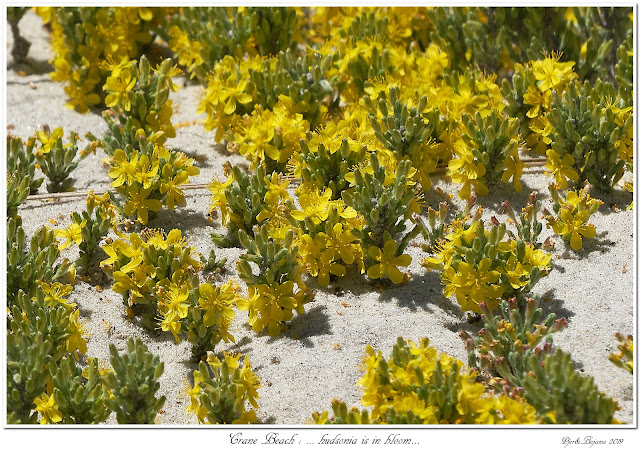 Crane Beach: ... hudsonia is in bloom...