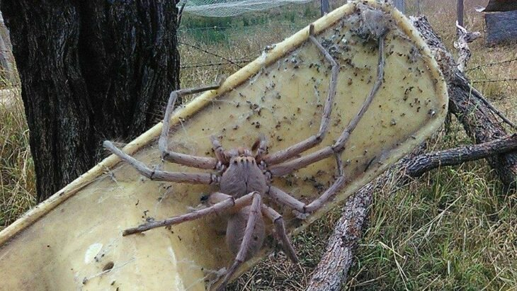 No quiso matar una pequeña araña que estaba en su casa; creció y ahora da miedo