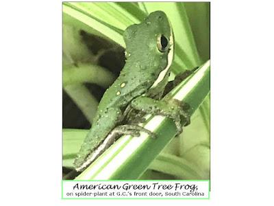 cellphone photo; amphibians; U.S.; spiderplant; Mt. Pleasant; South Carolina