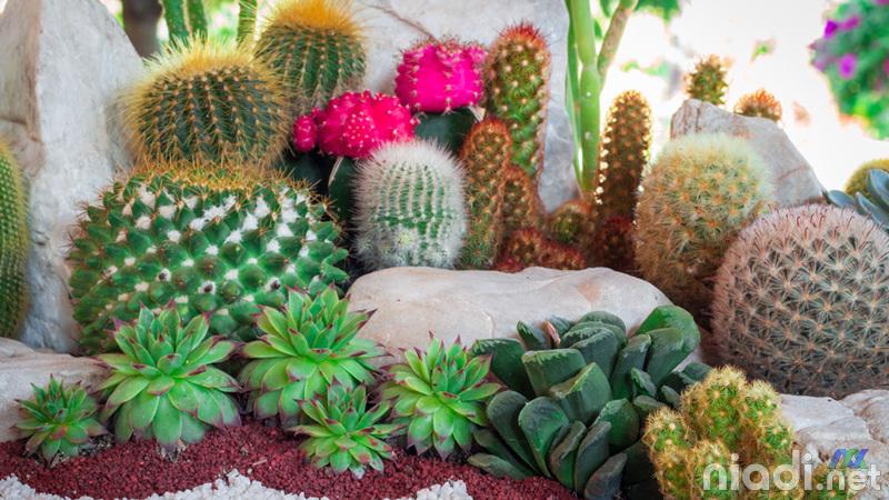 nama nama kaktus dan gambarnya