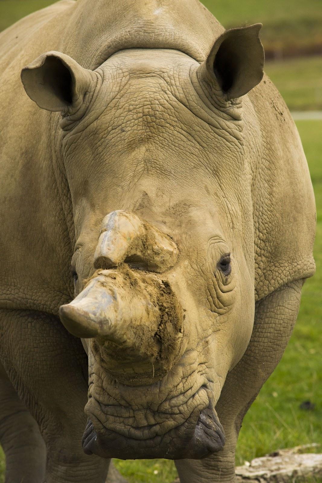 A charging rhino.