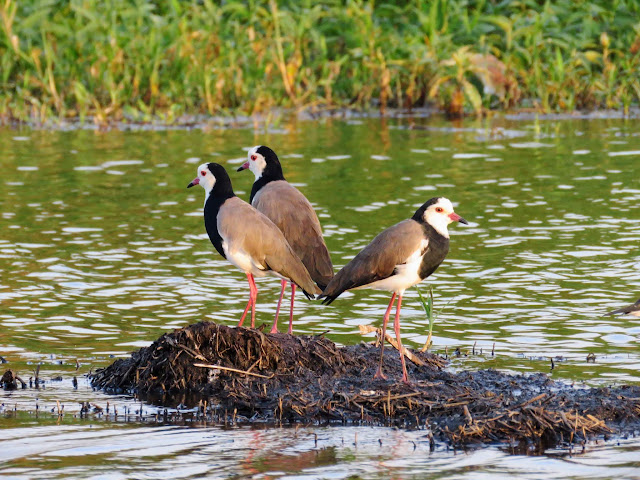 Long-toed Lapwing in Uganda