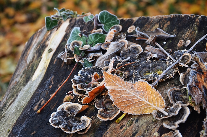 feuilles givre hiver