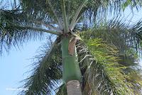 Royal palm tree top - Greenwell Coffee Farms, Big Island, HI