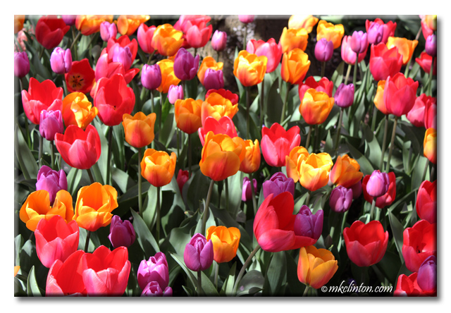 Variety colors of tulips in Skagit Valley Tulip Festival