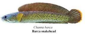 Barca snakehead