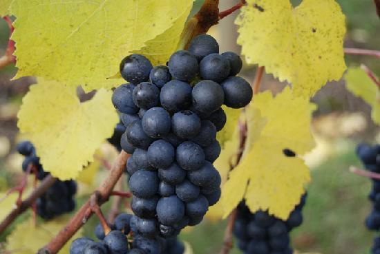 Περί Οίνων: To Pinot noir
