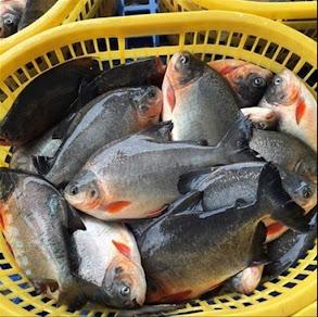 Supplier Jual Ikan Bawal Bibit & Konsumsi Aceh Terfavorit