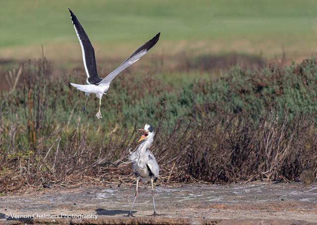 Kelp Gull Attacking Grey Heron Woodbridge Island Vernon Chalmers Photography 2