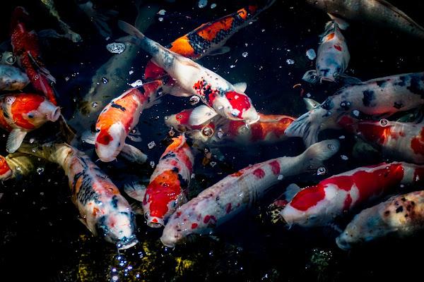 How to take care of Koi fish