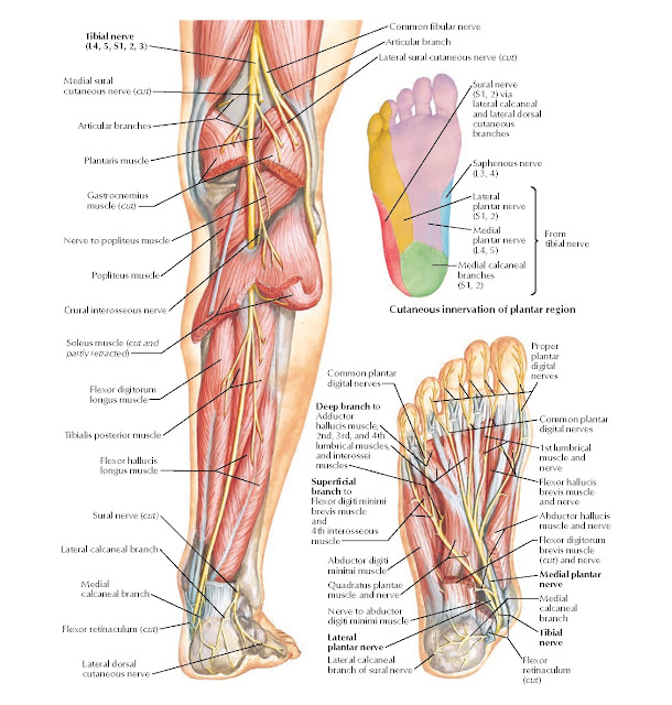 Tibial Nerve Anatomy