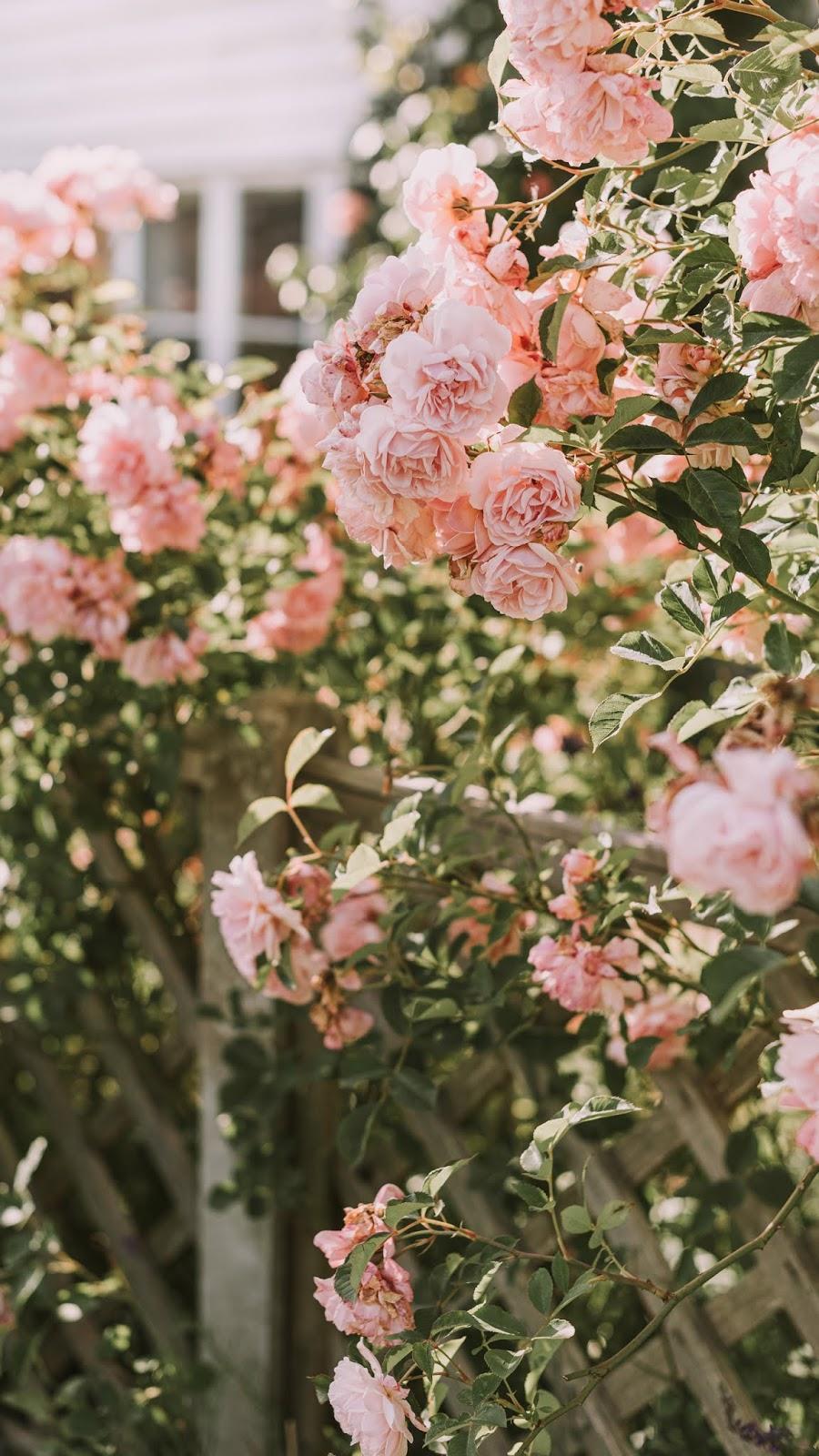 aesthetic vintage pink rose