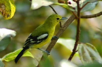Tips Dan Cara Perawatan Burung Sirtu Muda Hutan Agar Cepat Gacor Terlengkap
