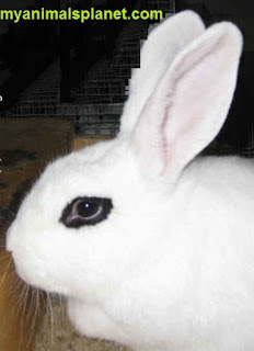 History of the Dwarf-Hotot Rabbit Breed