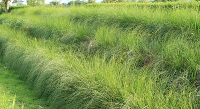 Petani Rumput Vetiver ( Akar Wangi ) - Tukang Rumput Bogor
