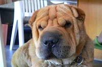 أجمل 15 من سلالات الكلاب في العالم (صور و فيديو)