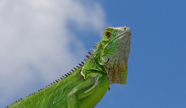 Iguana in South Florida